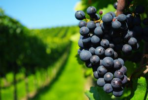 Vineyard 400px