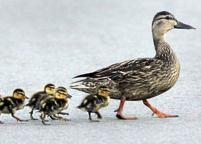 Ducks 400px
