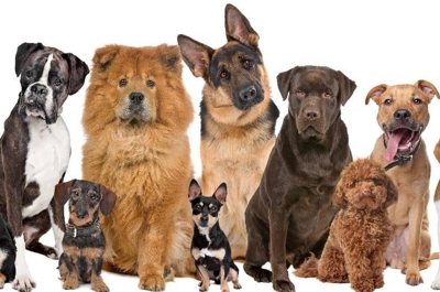 Some of the numerous varieties of domesticated dogs