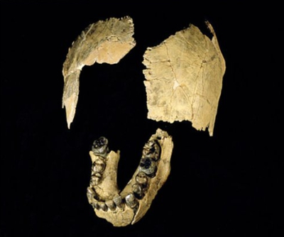 Skull and jaw framents of Homo habilis