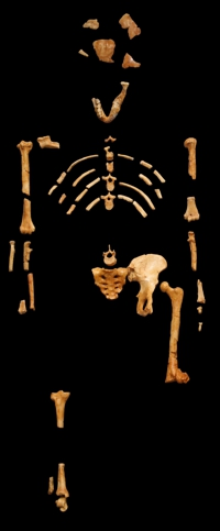The bone fragments alleged to be Lucy - Australopithecus afarensis