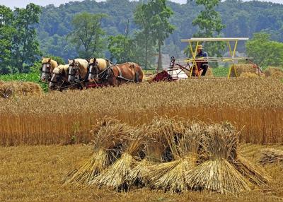 Horse-powered wheat harvest