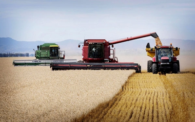 Wheat harvest by combine harvesters