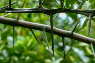 Be careful when pruning plants with thorns
